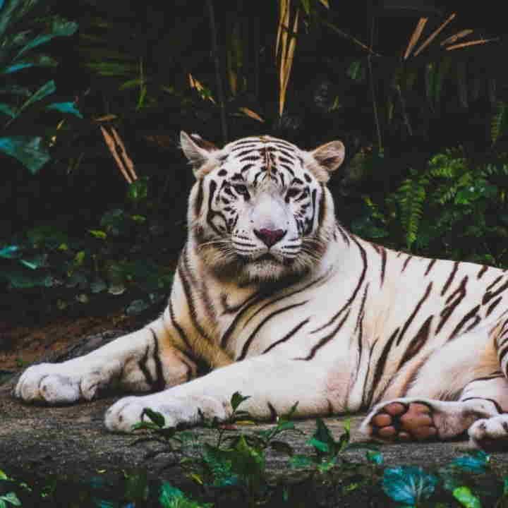 bálsamo de tigre